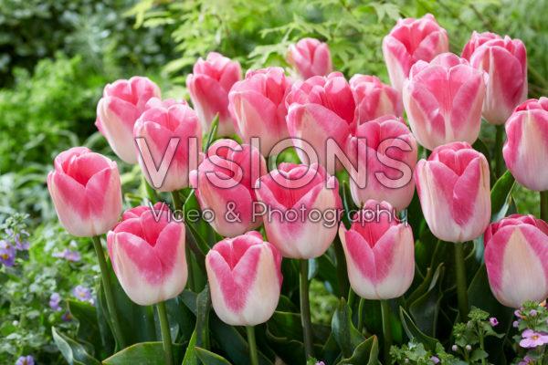 Tulipa Innuendo