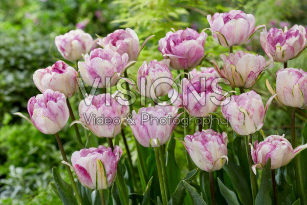 Tulipa Double Shirley