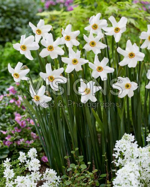 Narcissus poeticus var recurvus