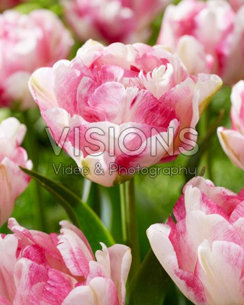 Tulipa Double Shake