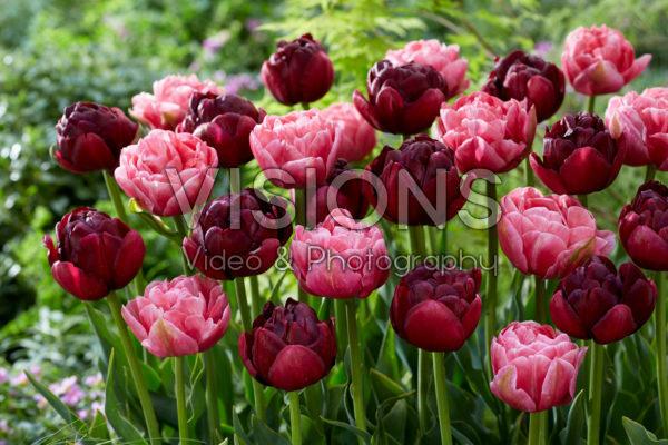 Tulipa Aveyron, Roadstar