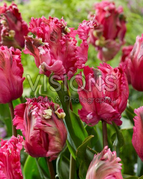 Tulipa Power Parrot