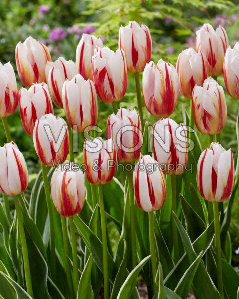 Tulipa Happy Generation