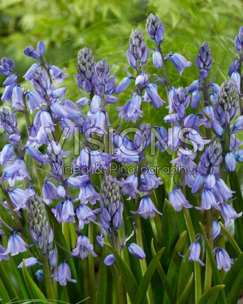 Hyacinthoides hispanica Excelsior