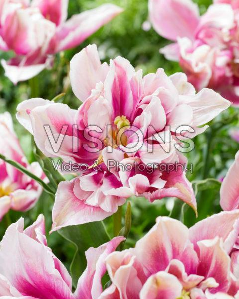Tulipa Ballade Exotic