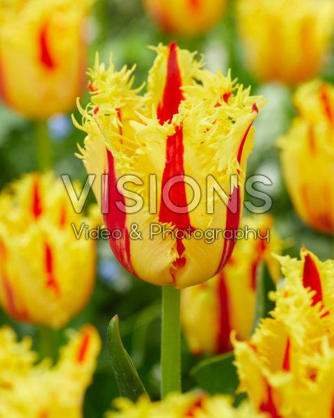 Tulipa Phantom