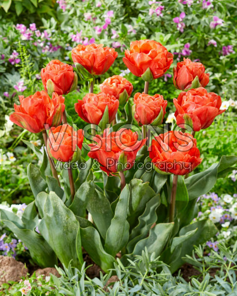 Tulipa dubbel rood