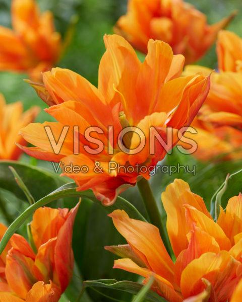Tulipa Bal d'Orange