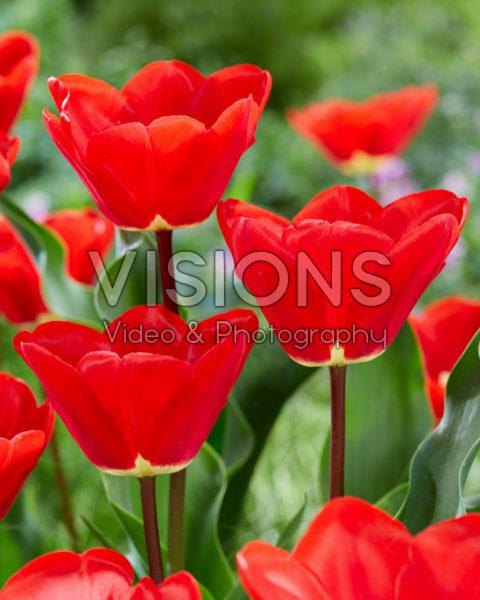 Tulipa Fostery King