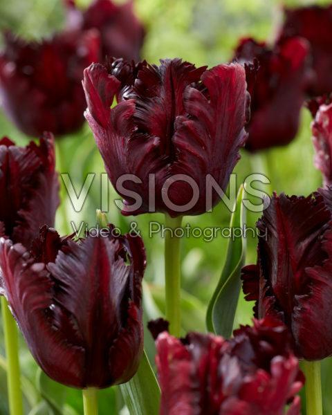 Tulipa Black Parrot