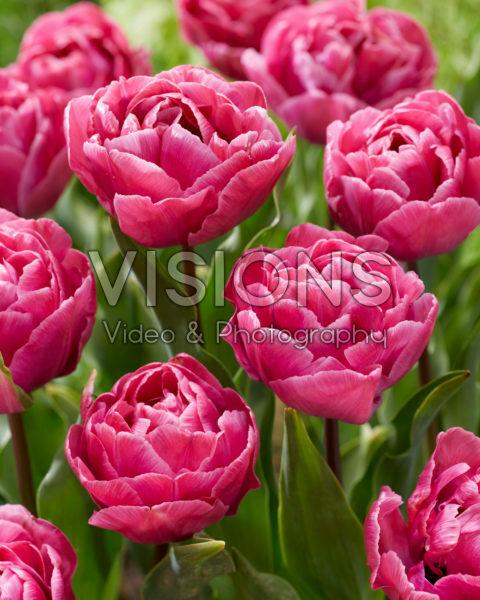 Tulipa Rosy Diamond