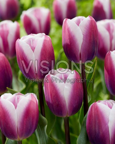 Tulipa Librije
