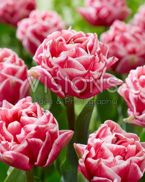 Tulipa Let's Dance