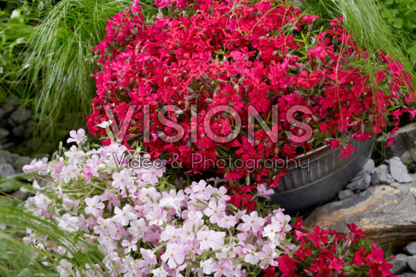 Phlox Strawberries and Cream, Really Red