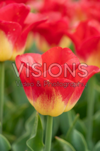Tulipa Watch Up