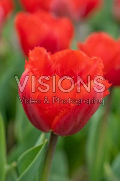 Tulipa Masterpeace