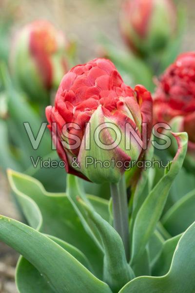 Tulipa Ice Cream Strawberry