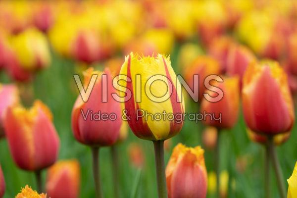 Tulipa Flamenco