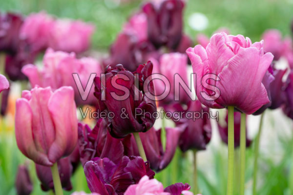 Tulipa Victoria's Secret mix