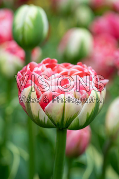 Tulipa Dazzling Sensation