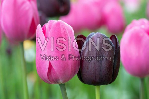 Tulipa Strike Pink mix