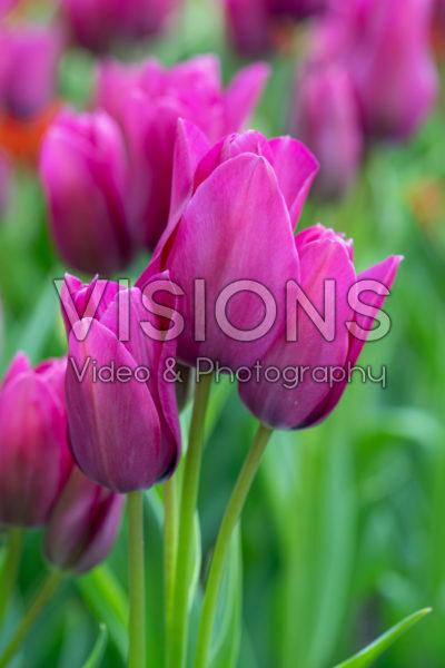 Tulipa Night Club