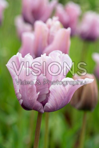Tulipa James Last