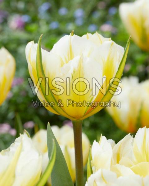 Tulipa Sweet Valley