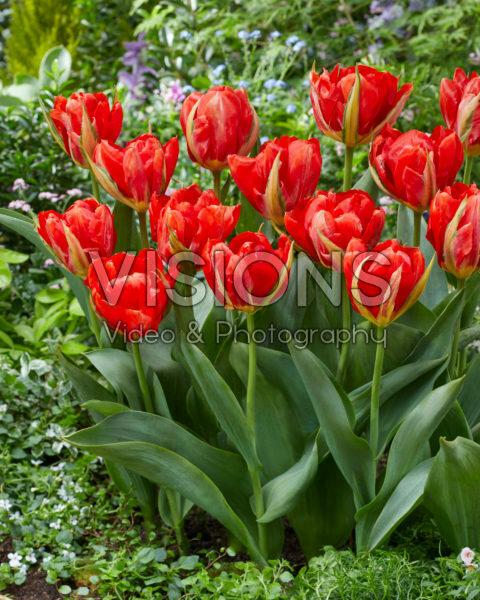 Tulipa Love Valley