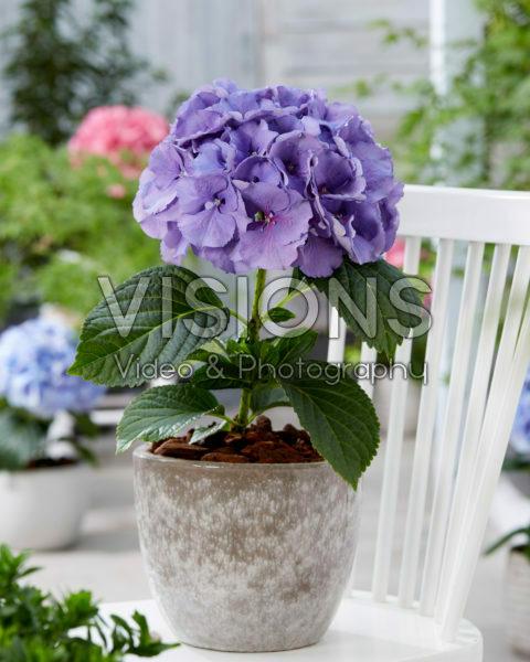 Hydrangea paars