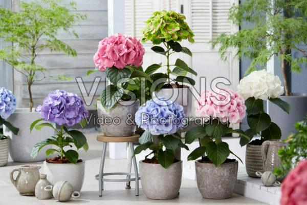 Hydrangea collectie