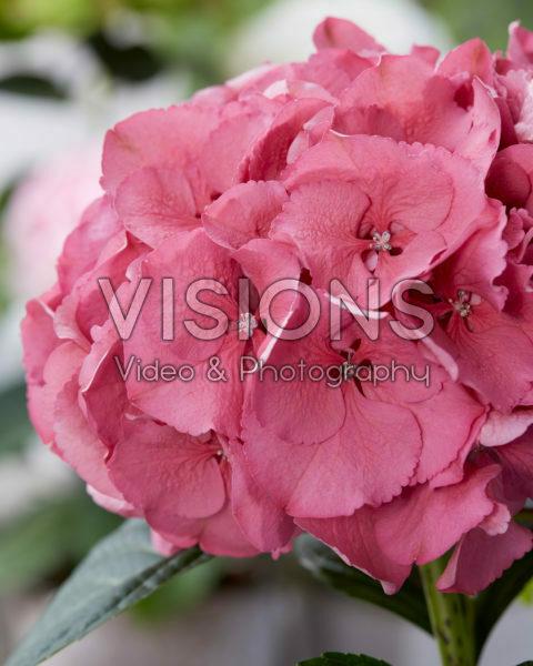 Hydrangea Raspberry