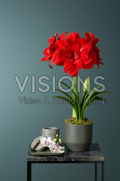 Hippeastrum Red Glory