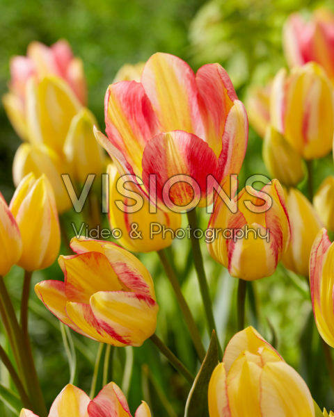 Tulipa Antoinette