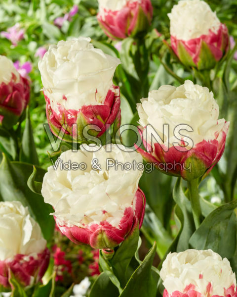 Tulipa Ice Cream