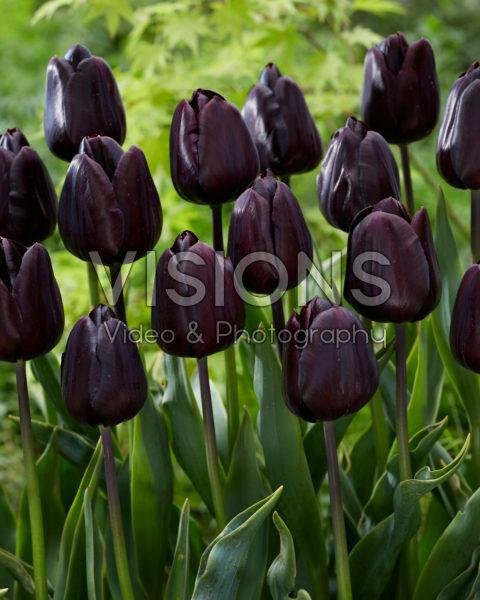Tulipa Nightmare