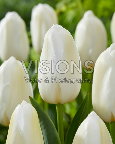 Tulipa Catharina