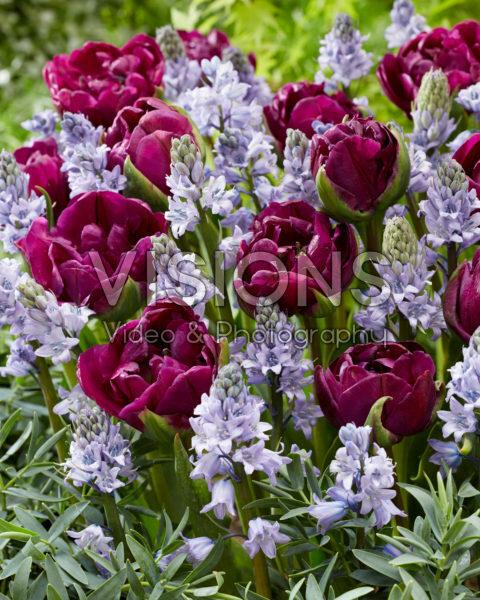 Hyacinthoides hispanica Excelsior, Tulipa Negrita Double