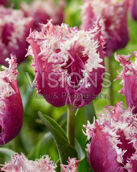 Tulipa Crunchy Cummins
