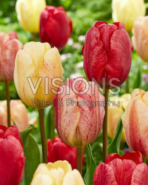 Tulipa Kees Doolaard