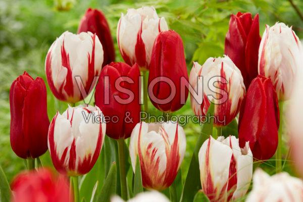 Tulipa Happy Generation, Kingsblood