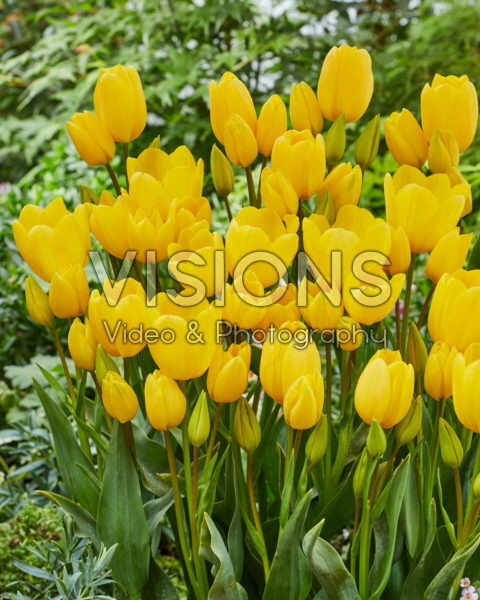 Tulipa meerbloemig geel