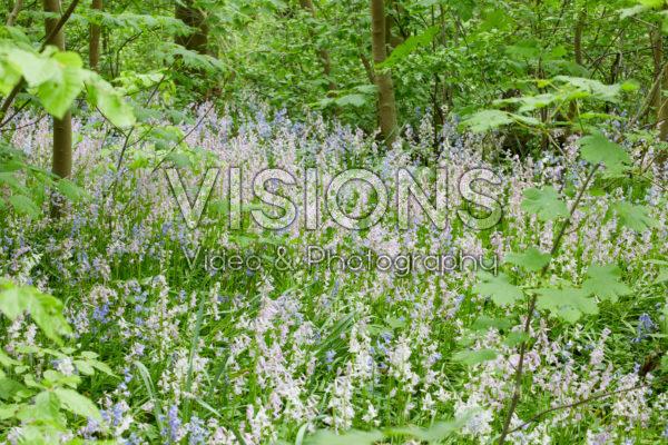 Hyacinthoides hispanica gemengd