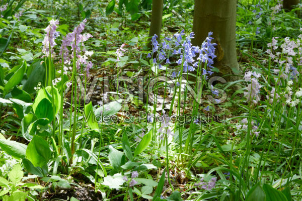 Hyacinthoides hispanica mixed