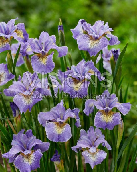 Iris sibirica Real Cute