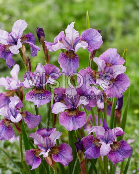 Iris sibirica Light of Heart