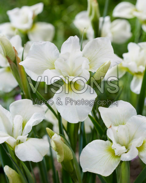 Iris sibirica Dreaming Green
