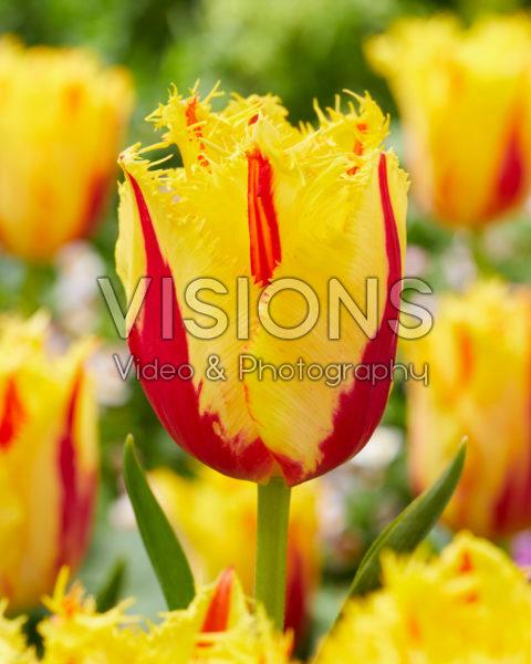 Tulipa Party Clown