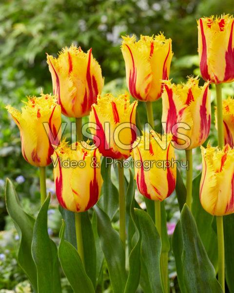 Tulpen Feest Clown