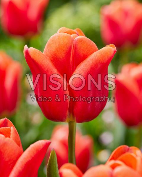 Tulipa Countus